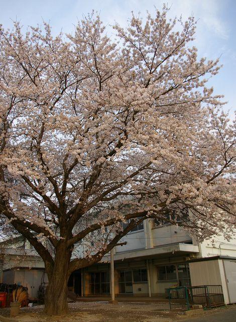 Sakuraye2
