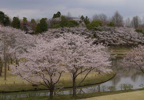 Sakurabanpaku1
