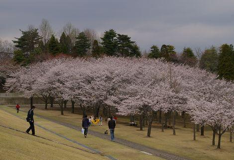 Sakurabanpaku2